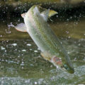fishing stories - Ontario steelhead - Photo by John Bennett