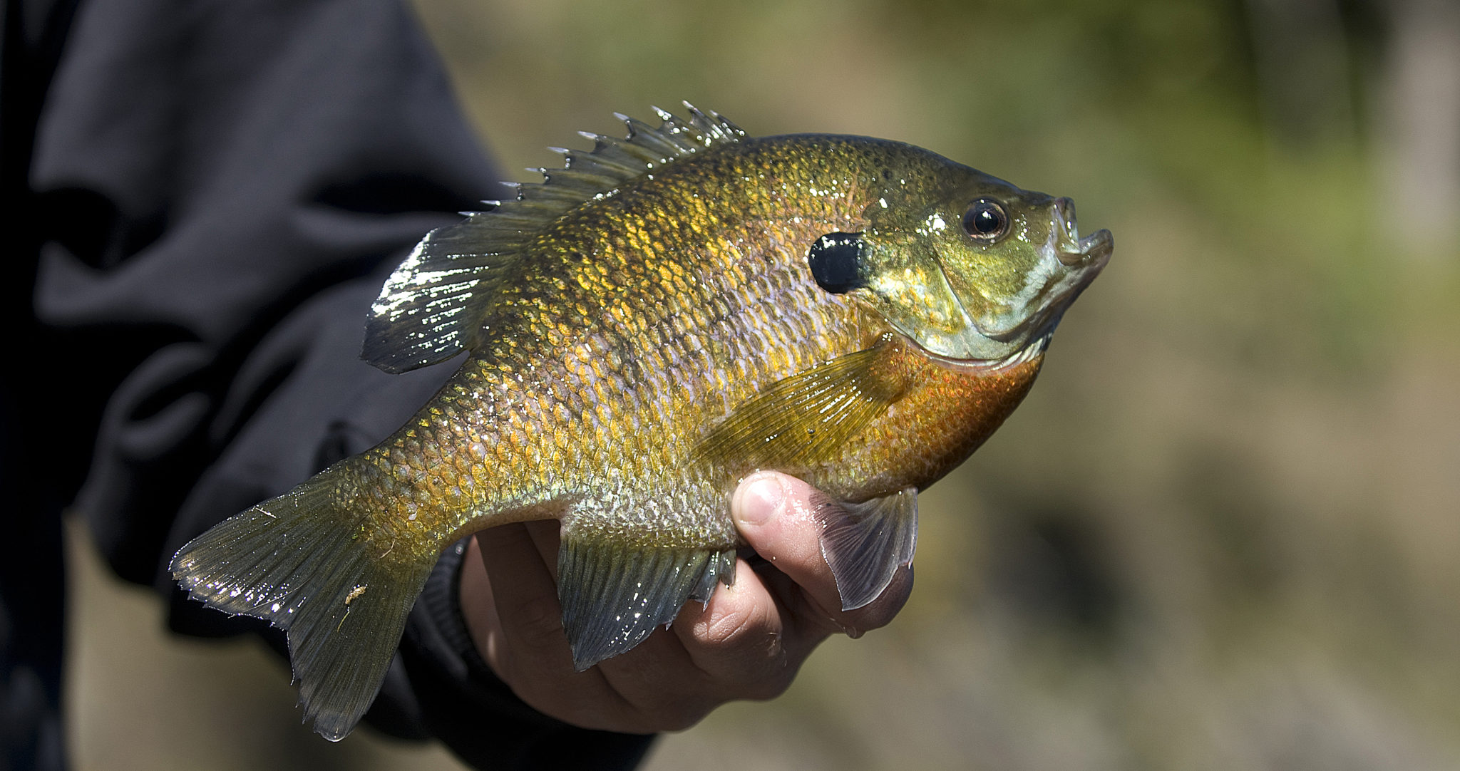 panfish - a man holding a sunfish