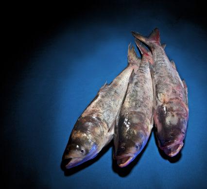 reproduced - asian carp defence - asian carp - three fish on a blue table