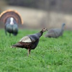 Robin Irwin snapped this great shot. Gobble gobble!