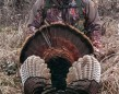 "This Memory Bank Moment was my first harvested Turkey! Shot on April 27th 2015 at 9:30am. This solo massive Tom sprinted across a cut corn field from behind me, his eyes fixed on my decoys, and never saw me waiting for him. Cleanly harvested with a single shot from my Stoeger 12ga, he weighed in at 24.4lb, with 1.55"" spurs and 10.75 beard with a NWTF score of 76.1. It was an exciting hunt and a memorable first Turkey."