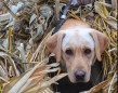 Matt Peto's pup Boomer on the last day of goose season! Great way to end the year with a banded bird!