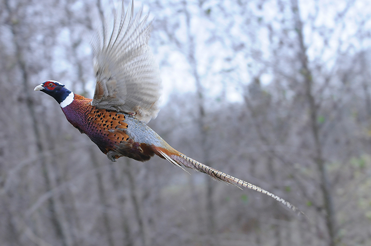 flushing pheasants