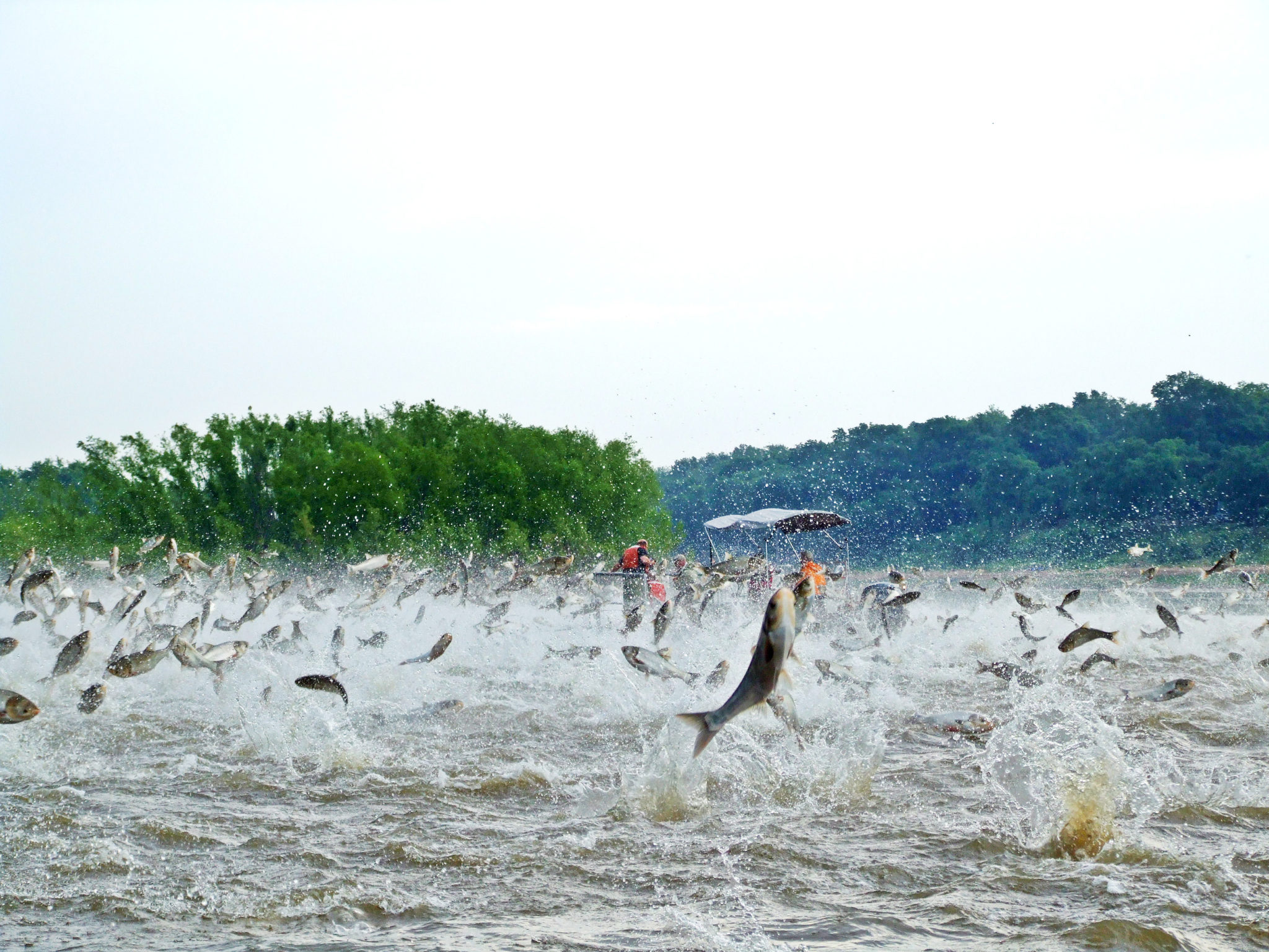 report - carp jumping out of the water