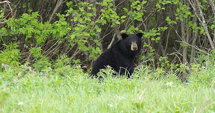 woman - OFAH reaction - animal rights groups - spring bear hunt deadline - black bear in field