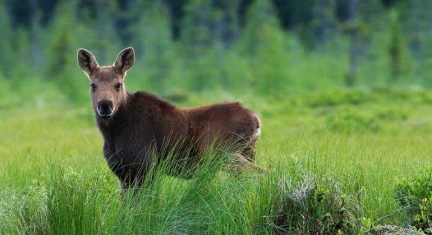 a calf moose