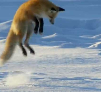 fox hunts - a red fox jumping