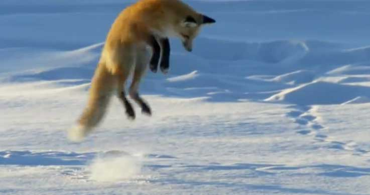 fox hunts - a red fox jumping