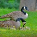 ducks unlimited - geese