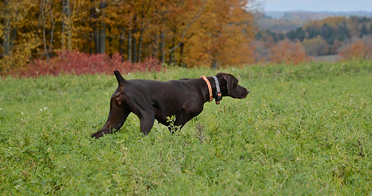 breed - a chocolate lab, pointing