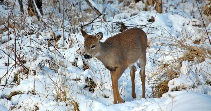 severe weather - fawn in winter, photo by Mark St. Cyr