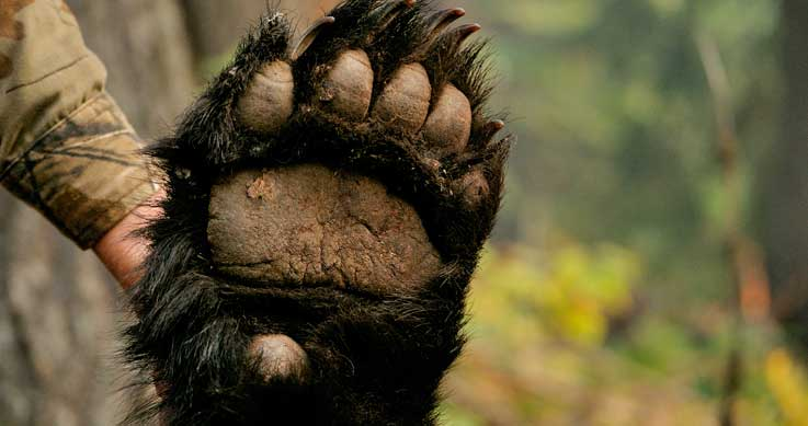 hunt bear - bear paw