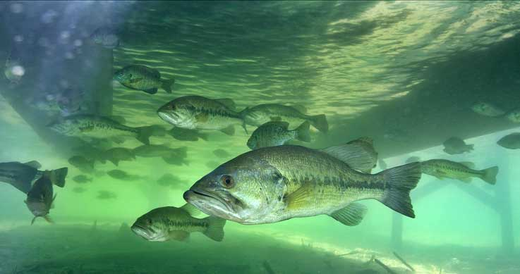 Ontario OUT of DOORS Magazine - Hunting. Fishing. Outdoors. Largemouth Bass Pictures Underwater