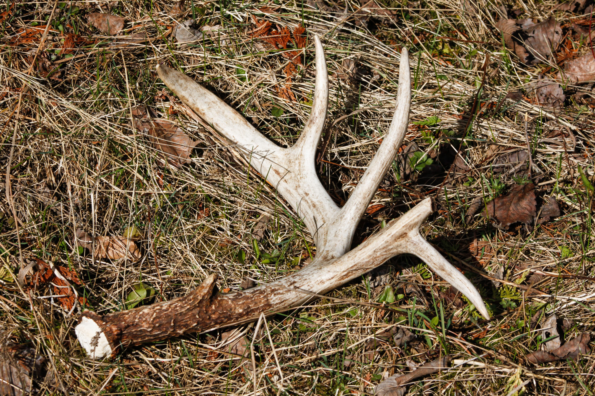 Antler on ground