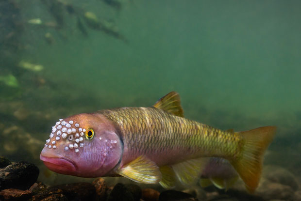 facts - Many male minnows grow hard bumps or small spikes on their heads and parts of their bodies come spawning time.