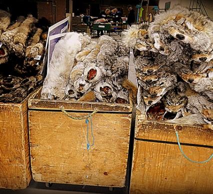 Pelts at auction
