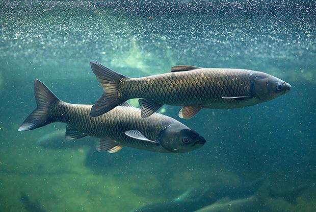 Grass carp underwater