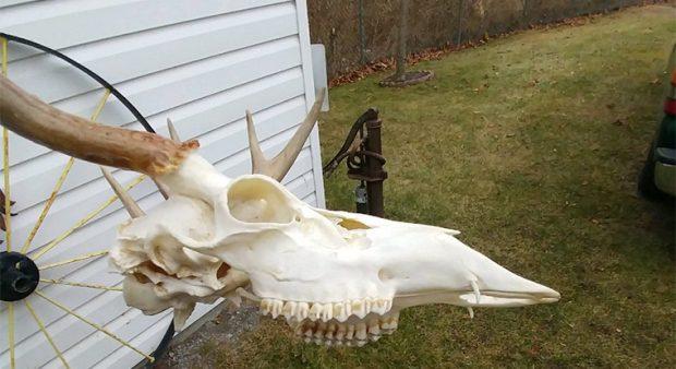 vampire deer