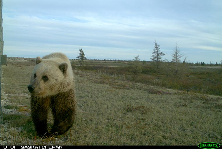 grizzlies in Ontario