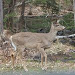 Irene Cecconi of New Liskeard spotted this deer out the camp window in Huntsville.