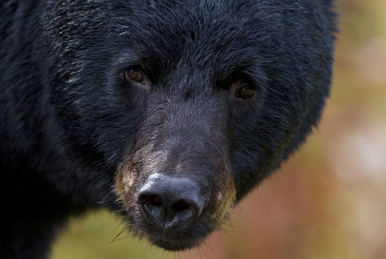 stock photo of a black bear