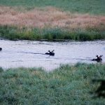 Christine Bouffard of Whitefish and her husband watched these three bull moose crossing the creek on her parent's property in Desbarats.