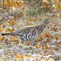 ruffed grouse running through leaves