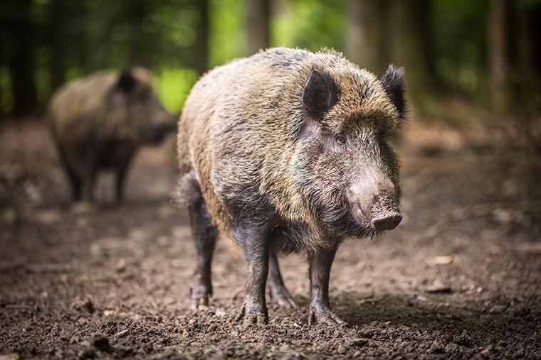 Wild pig; hog; boar; feral pig