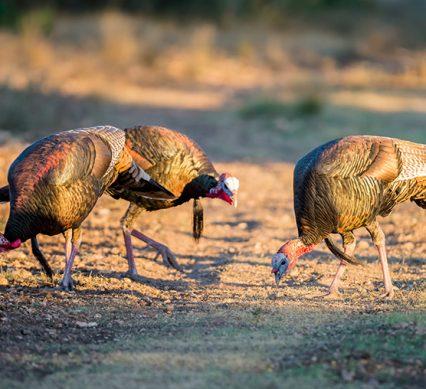 wild turkey grazing