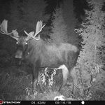 Brad McLarty of Sault Ste. Marie caught a northern Ontario moose on camera.