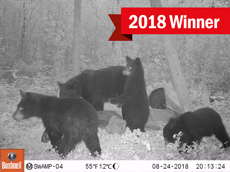 bears on a trail camera image