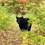 Terry Kalyta of Bobcaygeon came encountered this black bear while taking in the fall colours of Haliburton with wife Kathy.