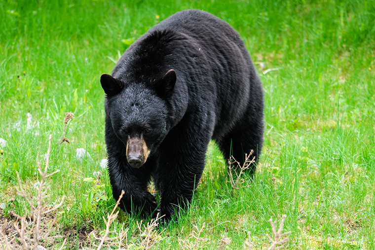 Bear walking in grass