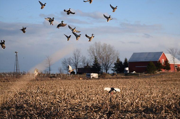 ducks taking flight in field
