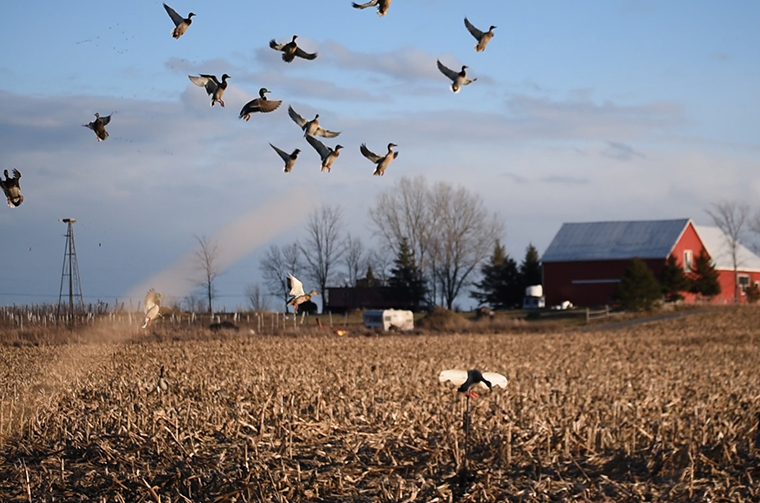 ducks landing in a field