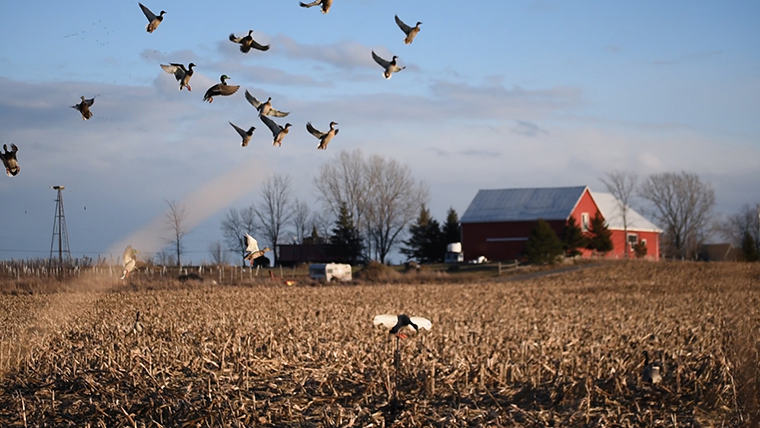 ducks flying in field