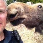 Espanola-area police officer Dave Bell met this moose after he was called to a highway traffic hazard and got this selfie before the young animal returned to the bush.