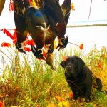 Steve Delyea of Port Perry submitted this photo of his retriever Quinn keeping an eye on her trophy wood ducks.