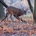 white-tailed deer in forest