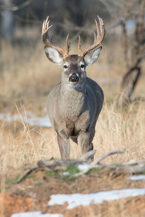 white-tailed deer standing near some snow