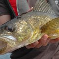 angler holding a walleye