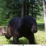 Rob Campbell of Richmond sent in this trail cam photo of a bear.