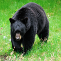 a black bear ambling through the greenery