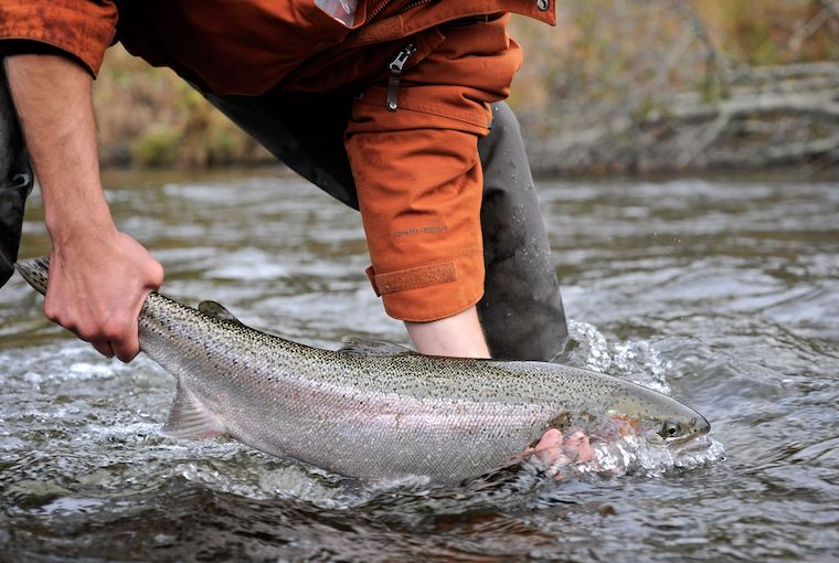 steelhead on the river