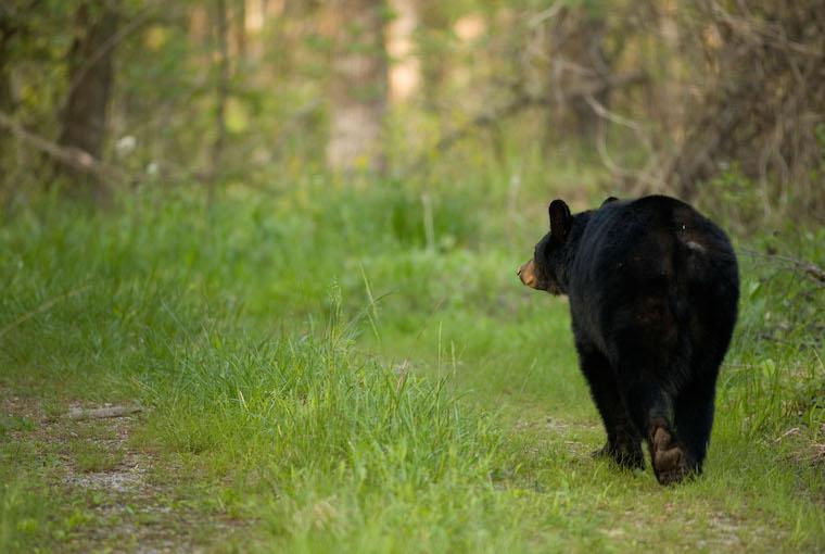 ambling bear
