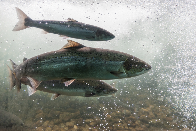 coho salmon swimming