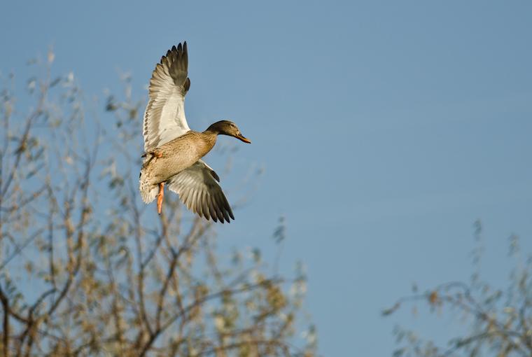 female mallard flying low over treeline