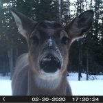 Michael Pelaia of Thunder Bay caught this darling deer on his trail cam.