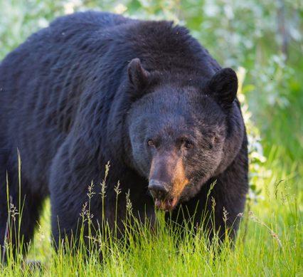a big spring bear hunt bear in the verge