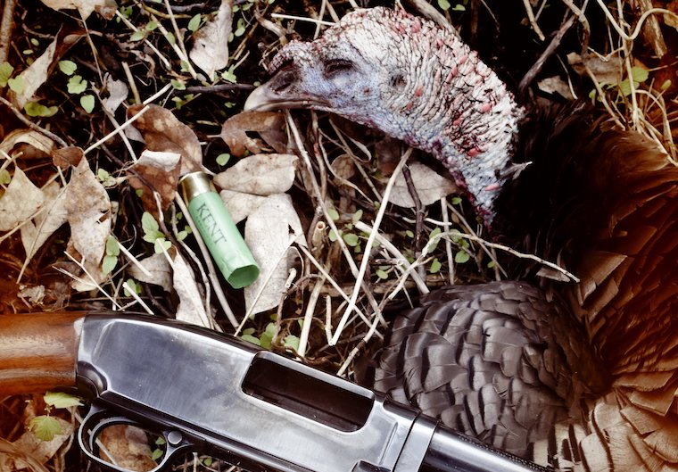a fallen turkey with gun